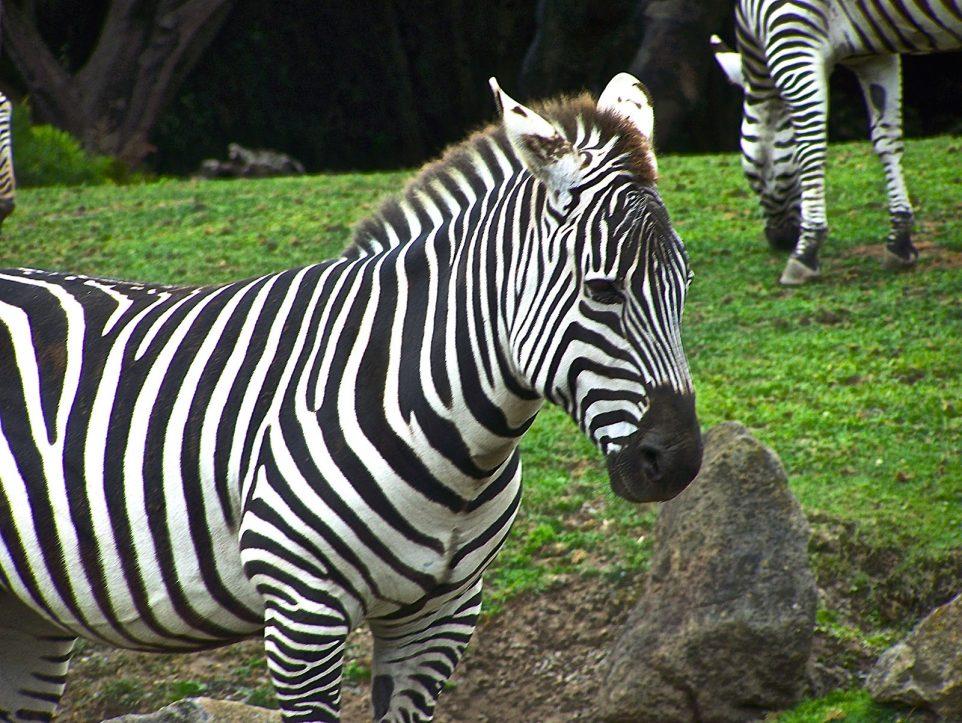 Grant's Zebra at San Francisco Zoo