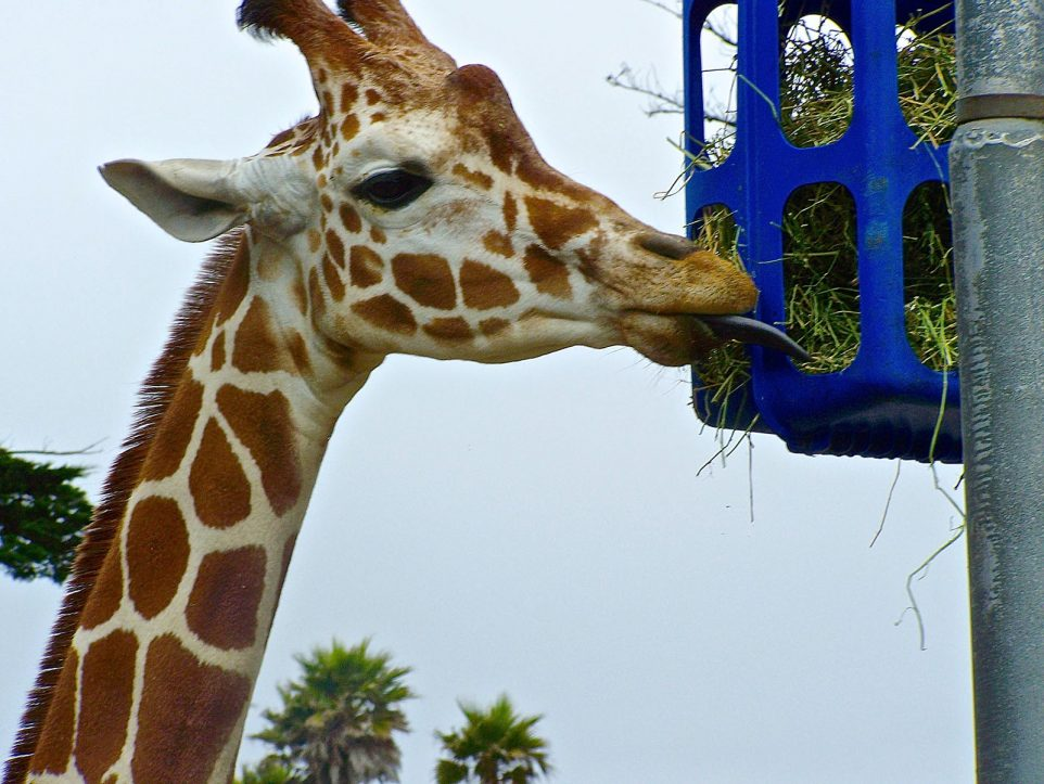 Reticulated Giraffe at San Francisco Zoo
